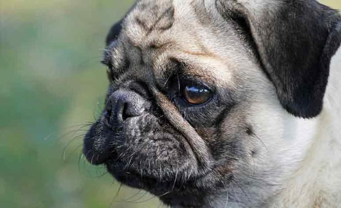 perros celos