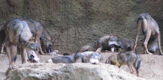 diferencias entre perro y lobo