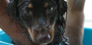 Cómo bañar al perro