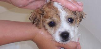 Bañar a perro cachorro