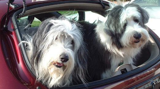 Perro se marea en el coche