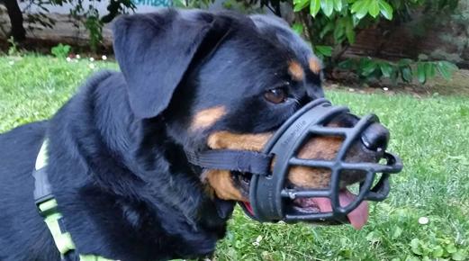 Detalle perro con bozal baskerville