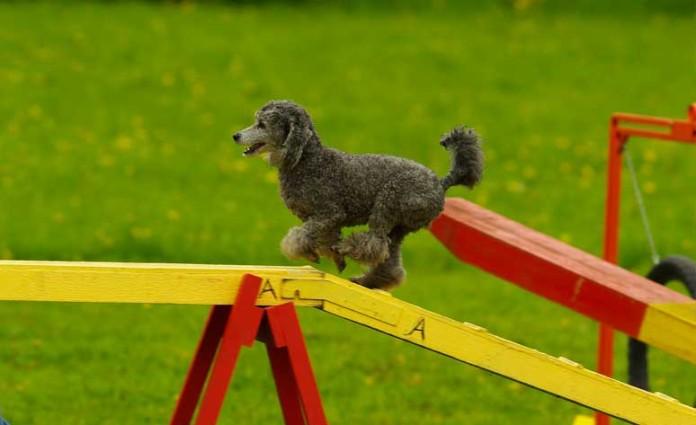 agility perro
