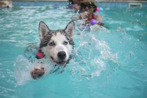 Perro piscina nadando