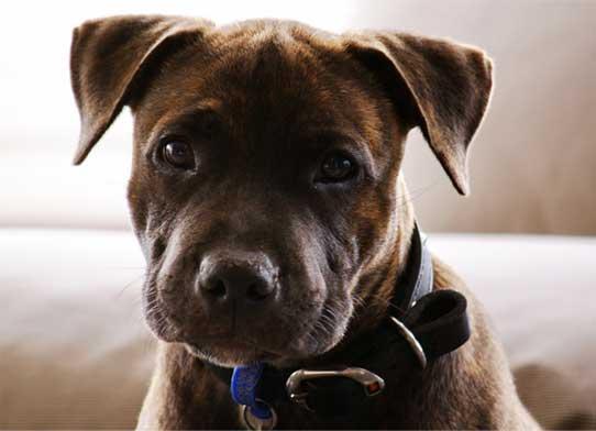 Pit Bull perro portencialmente peligroso