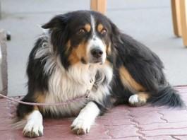 Robo de perros, cómo evitarlo